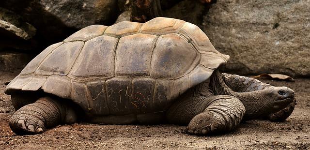 obří želva